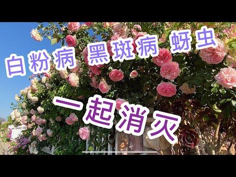 , title : '(园艺篇5)月季 玫瑰 的春季养护 第一集 原来#防治蚜虫 和#白粉病 可以双管齐下
