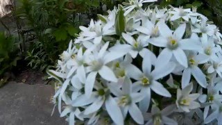 White Ornithogalum (bouquet) - It Is A Perennial Bulbous Plant Of The Hyacinth Family