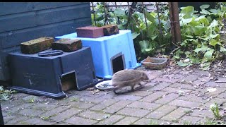 Hedgehogs In Your Garden? Feeding Station, Wildlife Camera.