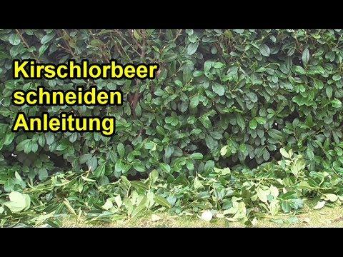 Kirschlorbeer richtig schneiden -  Anleitung / Lorbeerkirsche Hecke zurückschneiden /
