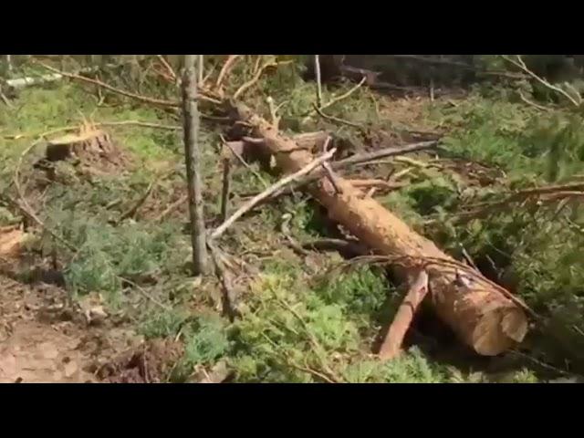 Нарубили лес на 2 миллиона