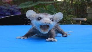 This Is The Baby Opossum The World Has Been Waiting For