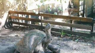 Giant Tortoise Reaching for hanging mango will he get it?