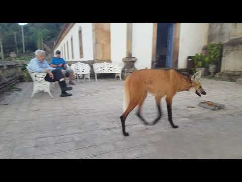 A maned wolf has a snack in Brazil. [0:31]