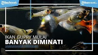 Usaha Ikan Guppy Mulai Banyak Diminati Pecinta Ikan Hias, Raup Peningkatan Omzet hingga 300%