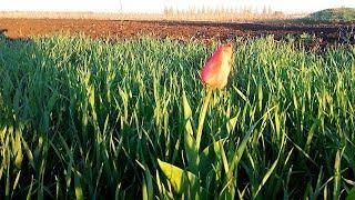 На участке пшеницы с экспериментом. часть 2  #Сельхозтехника ТВ