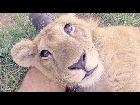 From Cubs to Kings – The Story of Two Rescued Lions