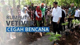 Jokowi Perintah Jajaran untuk Tanam Vetiver, Rumput Andalan yang Dapat Cegah Bencana Longsor