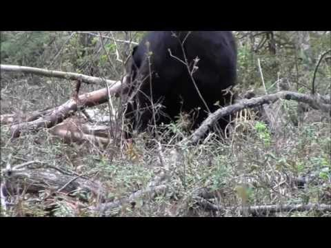 Canada Black Bear Hunt