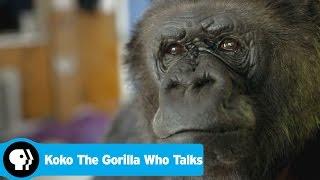 Download Youtube: KOKO THE GORILLA WHO TALKS | Preview | PBS