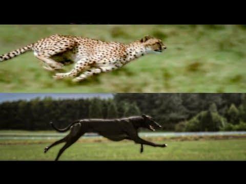 Cheetah vs. Greyhound Speed Test