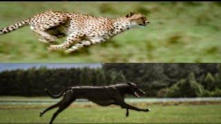 Cheetah Vs Greyhound Speed Test | BBC Earth