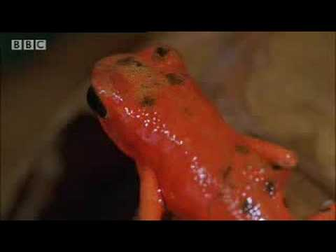 BBC: Poison Dart Frogs - Wild Caribbean