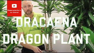 All you need to know about Dracaena - Dragon plant (Most varieties)