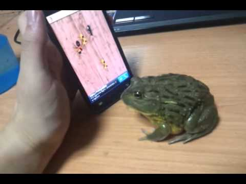 frog playing the iphone ant smasher game funny dirty adult jokes memes pictures. Black Bedroom Furniture Sets. Home Design Ideas