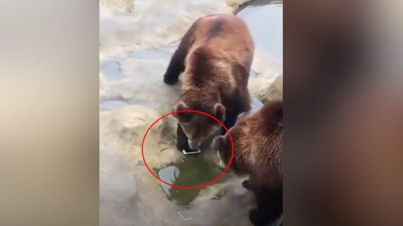 Турист по ошибке бросил медведям вместо морковки Айфон