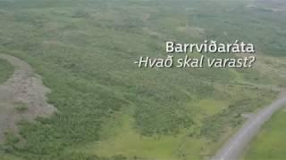 Barrviðaráta, hvað skal varast