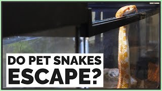 Do Pet Snakes Escape Easily?