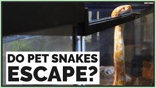 Do Pet Snakes Escape Easily?