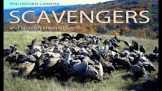 HIDDEN CAMERA: SCAVENGERS and SPANISH IMPERIAL EAGLE 1080p