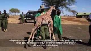 Baby giraffe is rescued   Sheldrick Trust