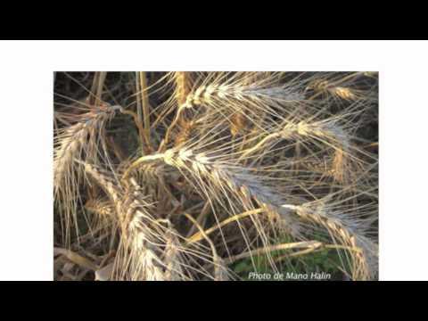 Les variété de blés HD