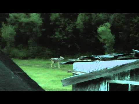 Hungarian Sheep Dog Versus Coyote