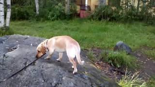 Дрессировка собаки (ржач)