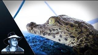 Cuban Crocodile Hatchlings Footage 01