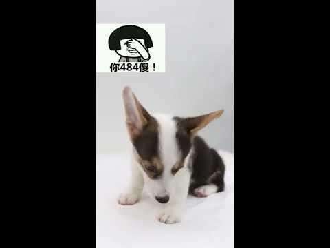 【抖音】寵物合集39 - Dogs are smarter than you think.Border Collie。
