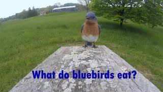 What Do Bluebirds Eat?