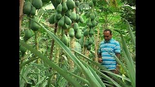 পতিত জমিতে ফলের বাগান | বছরে ৫০ কোটি টাকার ফল বিক্রি | Fruit Garden In BD