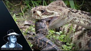 Rattlesnake Eats Alligator 01 Footage