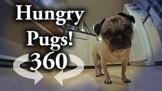 360 degree Video: Pugs Chompin down