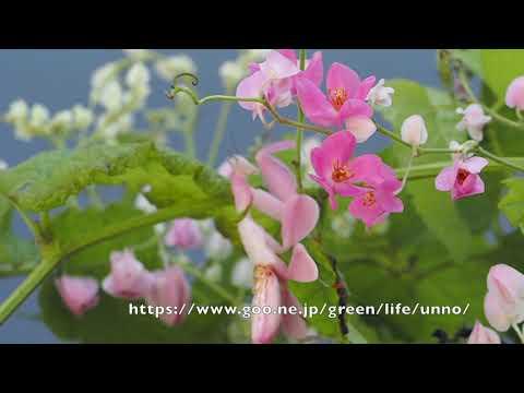 ハナカマキリの飛翔動画 Orchid mantis nymph& adult flying