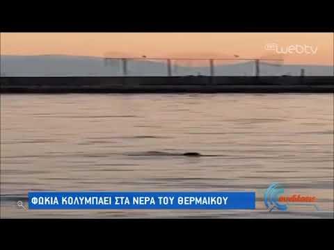 Φώκια κολυμπάει στα νερά του Θερμαϊκού | 28/04/2020 | ΕΡΤ