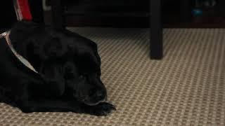 ASMR - Lola, A Black Labrador Licking His Paws #3