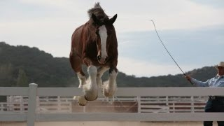 Clydesdale Filming Result will folow in next video