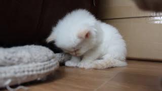 tired kitten cant stay awake - so cute! so little!