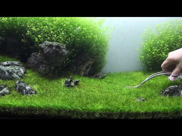 Green&Grey Aquarium - Day 98 - sp. mini trimming