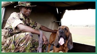 Bloodhounds Hunting Dogs | Earth Unplugged