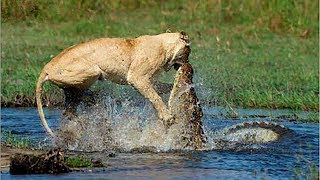 Crocodile Vs Lion | Lion Loses Battle And Seriously Injured.
