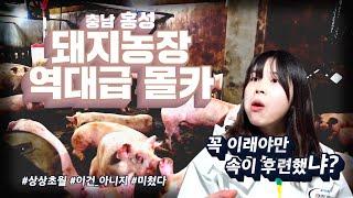 충격) 우리나라 최초 돼지농장 몰카! 돼지와 상상초월~ 겸상 이미지