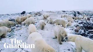 Polar bears invade Russian islands