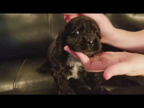 Champion Smoky, Black Male Cocker Puppy For Sale!