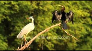 Darter or Snake bird and Heron