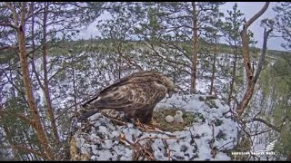Latvian Golden Eagle/LVM Klinšu ērglis ~ Virsis Greets His Chick For The First Time & Broods 5.12.20