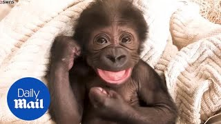 Playful baby gorilla laughs and cuddles with its mother