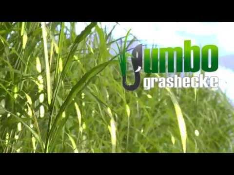 Jumbogras als alternative Heckenpflanze - hier als Sichtschutz an Pool