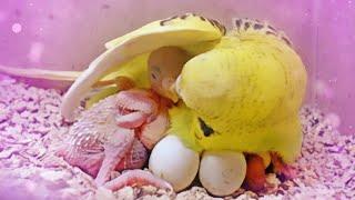 Hand Feeding Baby Budgie birds
